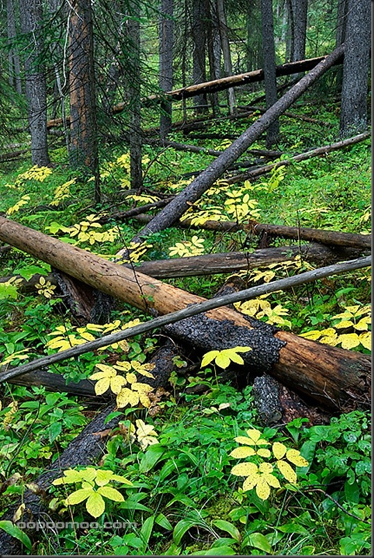 Mixed forest, Yoho National Park